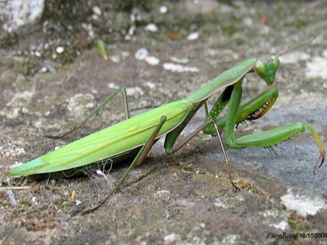 P cc gli insetti - Mosche verdi ...